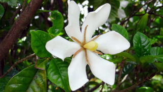 クチナシの花