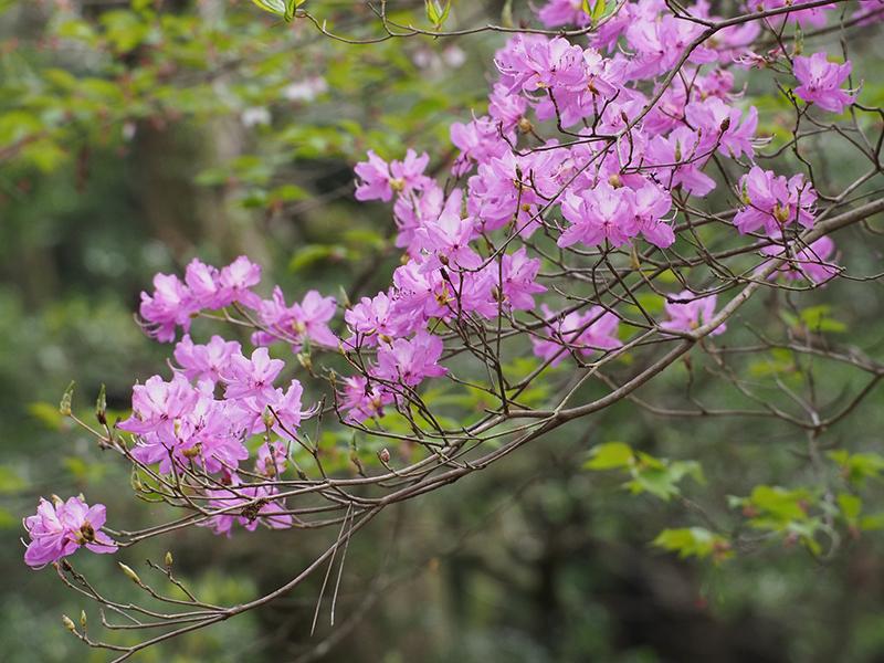 ミツバツツジの咲く様子