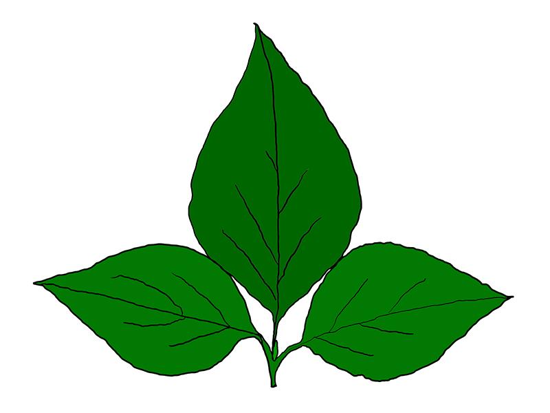 ミツバツツジの葉のイメージ