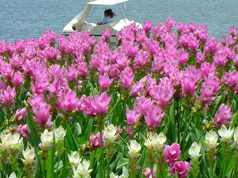 Hidden lily