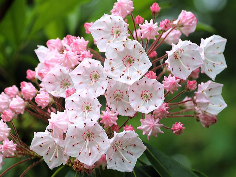 アメリカ石楠花
